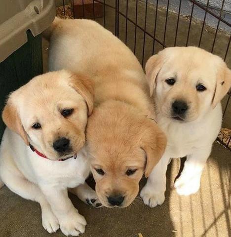 Cách nhận biết chó Labrador thuần chủng