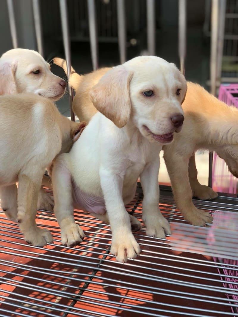 Chó Labrador có biết trông nhà không?